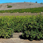 a Goleta lemon orchard